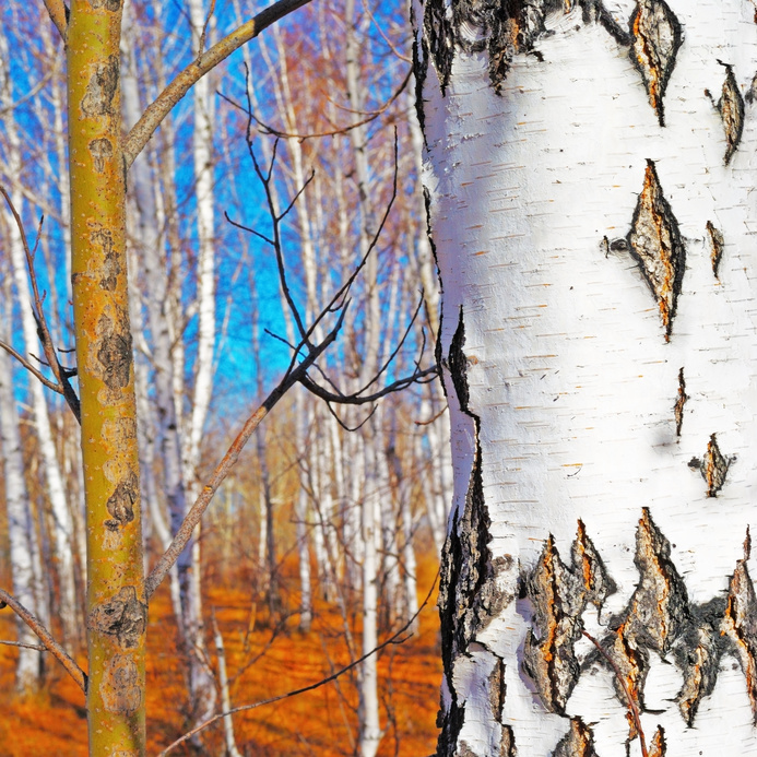 Image of   Blissful Birch