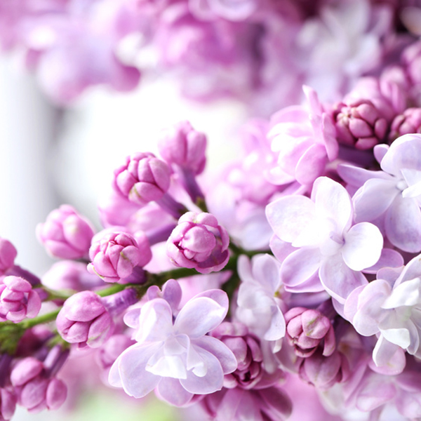 duftlys med syren Lilacs in Bloom