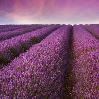 Image of   Pure Lavender