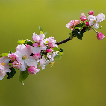 Image of   Apple Blossom Blush